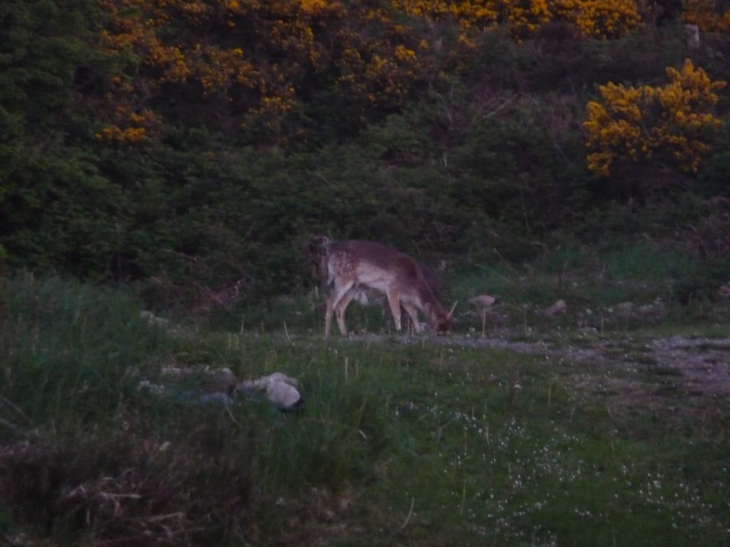 Fallow Deer.jpg